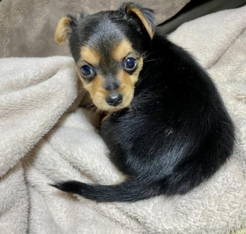 ミックスの子犬(ID:1262911068)の2枚目の写真/更新日:2020-10-26