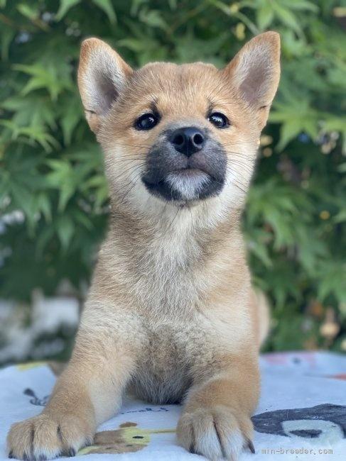 柴犬の子犬(ID:1262911069)の2枚目の写真/更新日:2020-10-26