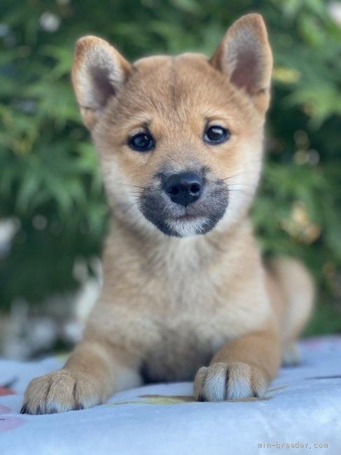 柴犬の子犬(ID:1262911069)の3枚目の写真/更新日:2020-10-26
