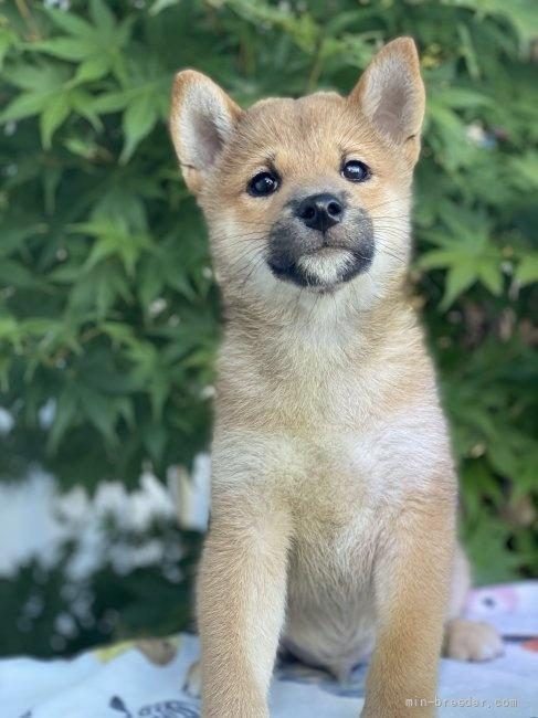 柴犬の子犬(ID:1262911069)の4枚目の写真/更新日:2020-10-26