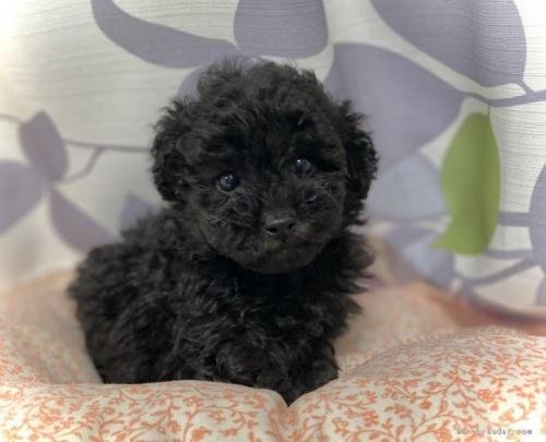 トイプードルの子犬(ID:1262911070)の2枚目の写真/更新日:2020-10-26