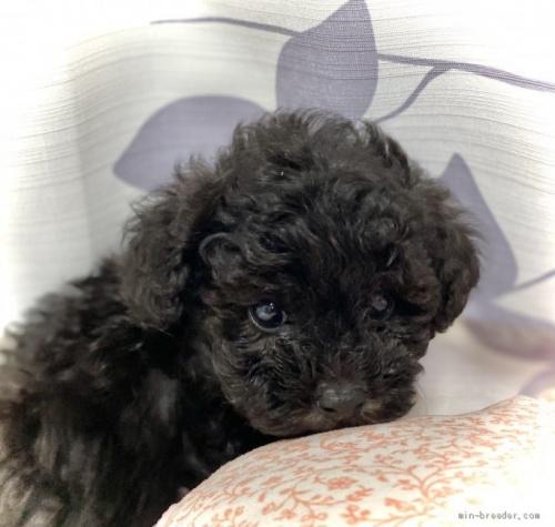 トイプードルの子犬(ID:1262911070)の3枚目の写真/更新日:2020-10-26