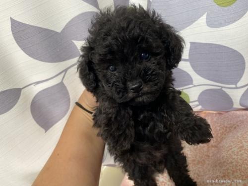 トイプードルの子犬(ID:1262911070)の4枚目の写真/更新日:2020-10-26