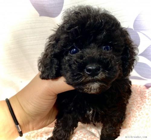 トイプードルの子犬(ID:1262911071)の1枚目の写真/更新日:2020-10-26