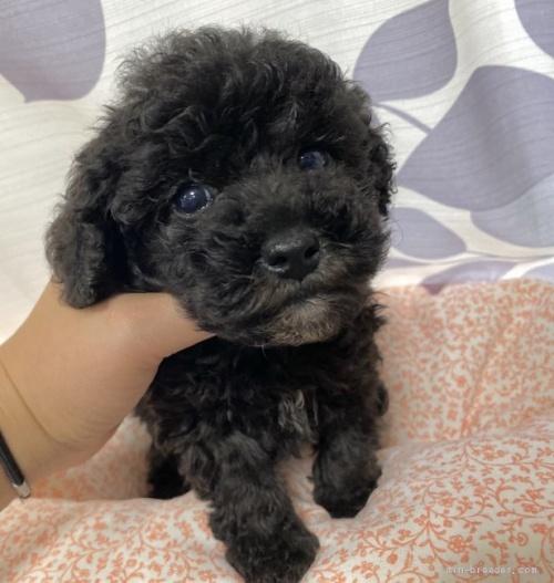 トイプードルの子犬(ID:1262911071)の2枚目の写真/更新日:2020-10-26