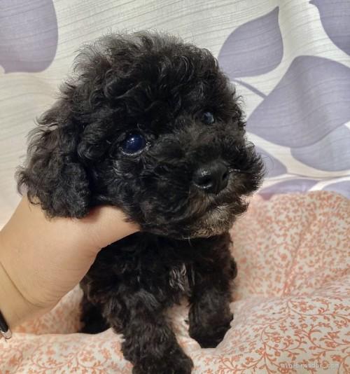 トイプードルの子犬(ID:1262911071)の3枚目の写真/更新日:2020-10-26