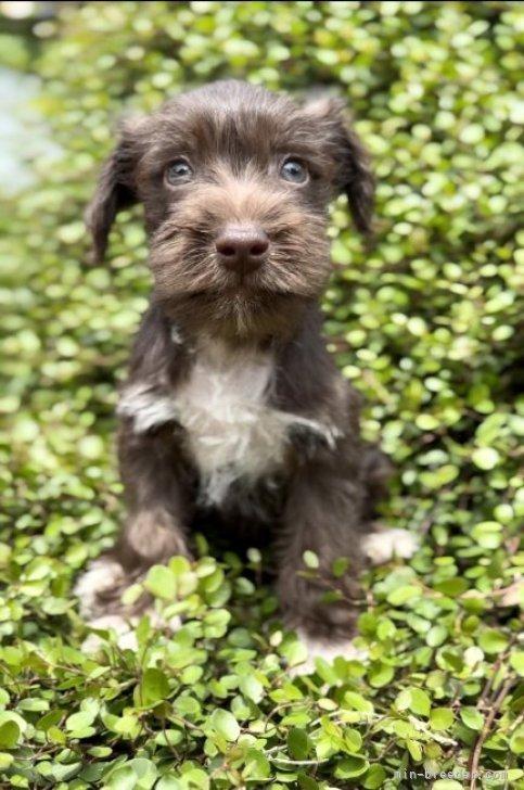 ミニチュアシュナウザーの子犬(ID:1262911076)の3枚目の写真/更新日:2021-02-16