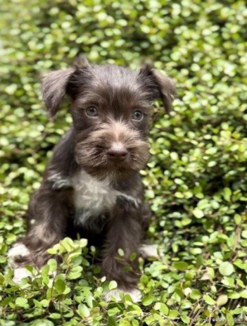 ミニチュアシュナウザーの子犬(ID:1262911076)の4枚目の写真/更新日:2021-02-16