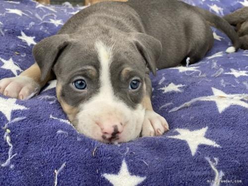 アメリカンピットブルテリアの子犬(ID:1262911084)の2枚目の写真/更新日:2021-07-30