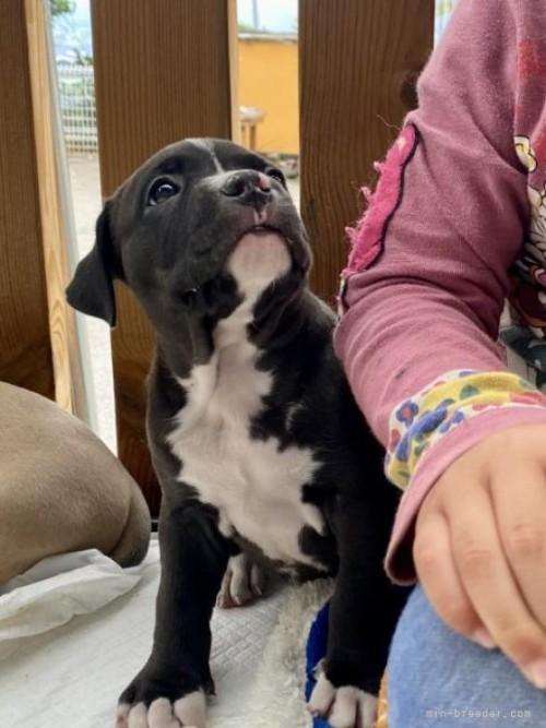 アメリカンピットブルテリアの子犬(ID:1262911087)の2枚目の写真/更新日:2021-01-19