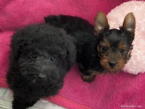 トイプードルの子犬(ID:1262911088)の2枚目の写真/更新日:2021-02-22