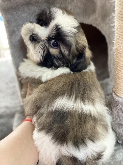 シーズーの子犬(ID:1262911089)の2枚目の写真/更新日:2021-04-19