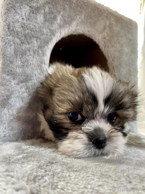 シーズーの子犬(ID:1262911089)の3枚目の写真/更新日:2021-04-19