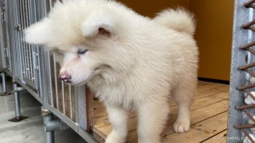 秋田犬の子犬(ID:1262911091)の2枚目の写真/更新日:2021-07-13