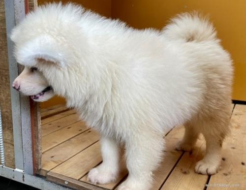 秋田犬の子犬(ID:1262911091)の3枚目の写真/更新日:2021-07-13