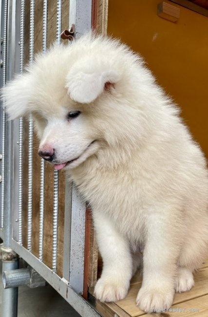 秋田犬の子犬(ID:1262911091)の4枚目の写真/更新日:2021-07-13