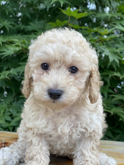 トイプードルの子犬(ID:1262911094)の1枚目の写真/更新日:2021-07-25