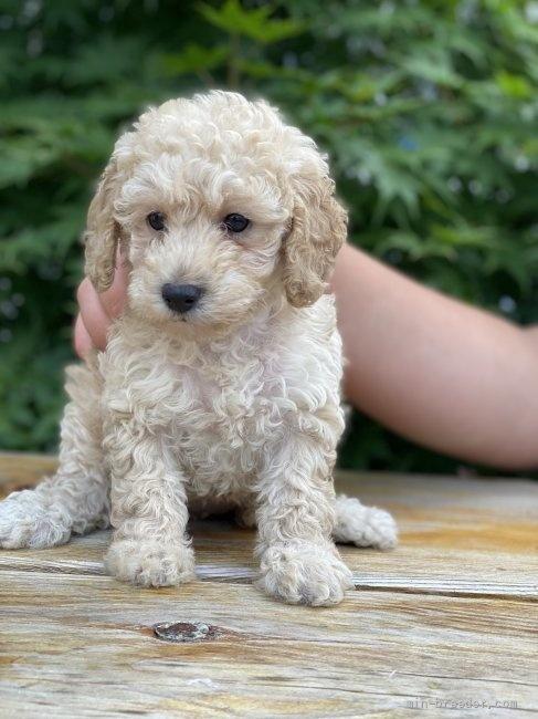 トイプードルの子犬(ID:1262911094)の2枚目の写真/更新日:2021-07-25