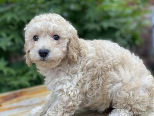 トイプードルの子犬(ID:1262911094)の4枚目の写真/更新日:2021-07-25