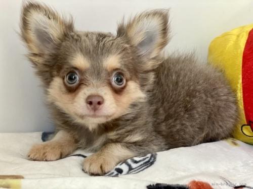 チワワ(ロング)の子犬(ID:1262911097)の1枚目の写真/更新日:2021-08-29