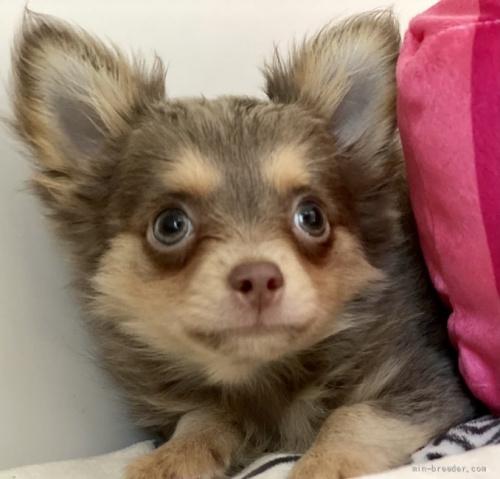 チワワ(ロング)の子犬(ID:1262911097)の2枚目の写真/更新日:2021-08-29