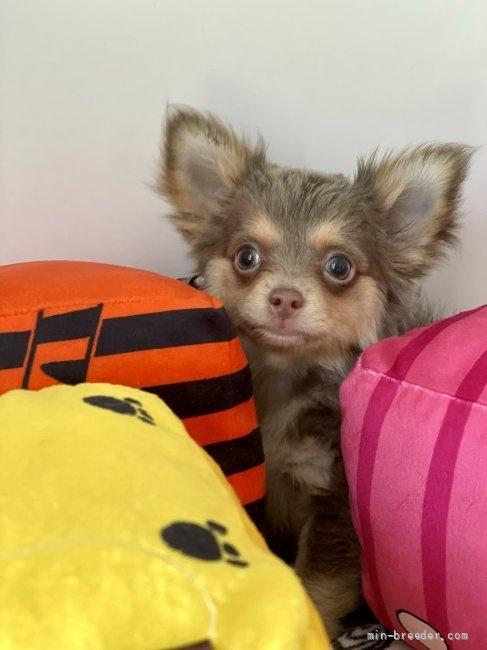 チワワ(ロング)の子犬(ID:1262911097)の3枚目の写真/更新日:2021-08-29