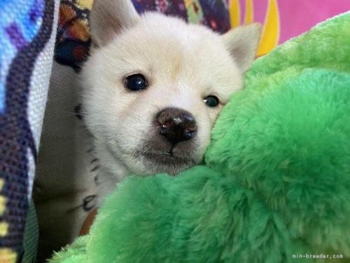 柴犬の子犬(ID:1262911099)の2枚目の写真/更新日:2021-08-29