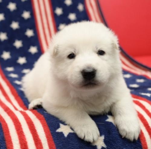 ホワイト・シェパードの子犬(ID:1263011002)の1枚目の写真/更新日:2019-02-18