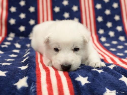 ホワイト・シェパードの子犬(ID:1263011002)の3枚目の写真/更新日:2019-02-18