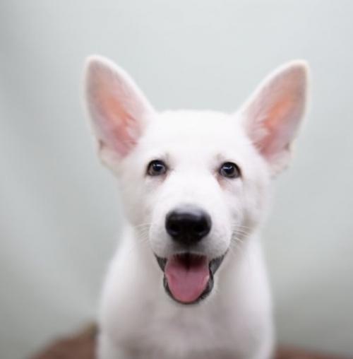 ホワイト・シェパードの子犬(ID:1263011003)の1枚目の写真/更新日:2019-02-18