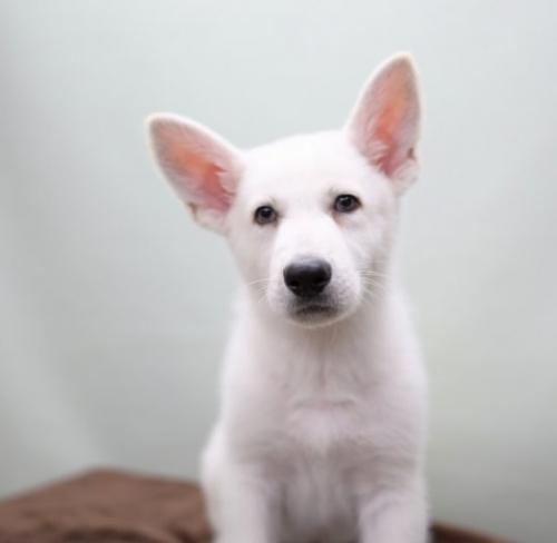 ホワイト・シェパードの子犬(ID:1263011003)の2枚目の写真/更新日:2019-02-18