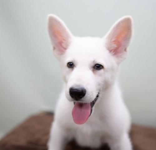 ホワイト・シェパードの子犬(ID:1263011003)の3枚目の写真/更新日:2019-02-18