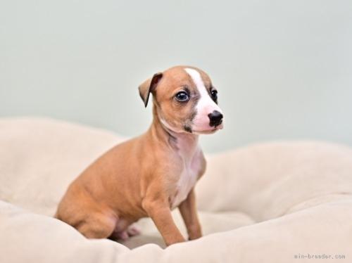イタリアングレーハウンドの子犬(ID:1263011004)の2枚目の写真/更新日:2018-09-01