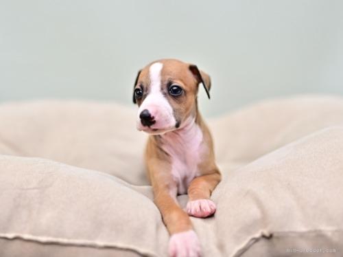 イタリアングレーハウンドの子犬(ID:1263011004)の3枚目の写真/更新日:2018-09-01