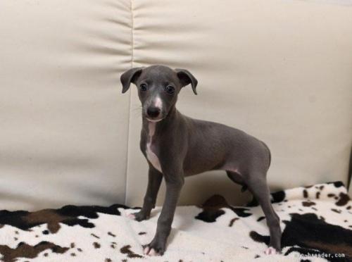 イタリアングレーハウンドの子犬(ID:1263011006)の3枚目の写真/更新日:2019-09-16