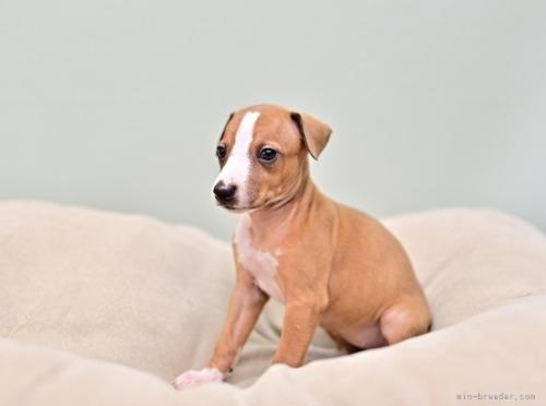 イタリアングレーハウンドの子犬(ID:1263011007)の2枚目の写真/更新日:2019-09-16