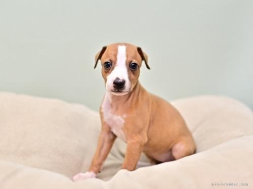 イタリアングレーハウンドの子犬(ID:1263011007)の3枚目の写真/更新日:2019-09-16