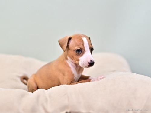 イタリアングレーハウンドの子犬(ID:1263011007)の4枚目の写真/更新日:2019-09-16
