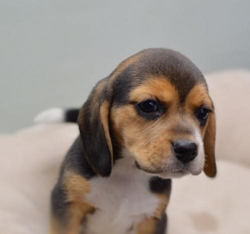 ビーグルの子犬(ID:1263011009)の2枚目の写真/更新日:2018-12-03