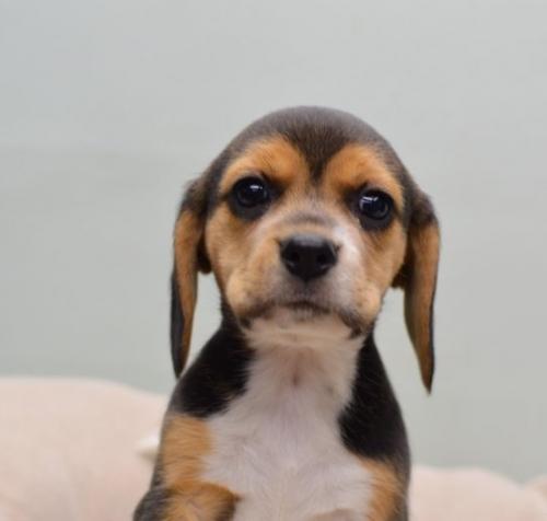 ビーグルの子犬(ID:1263011009)の3枚目の写真/更新日:2018-07-09