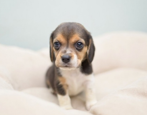 ビーグルの子犬(ID:1263011011)の1枚目の写真/更新日:2018-10-16
