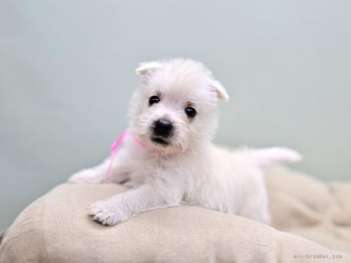ウエストハイランドホワイトテリアの子犬(ID:1263011012)の1枚目の写真/更新日:2019-08-17