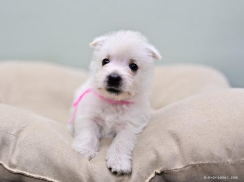 ウエストハイランドホワイトテリアの子犬(ID:1263011012)の2枚目の写真/更新日:2019-08-17