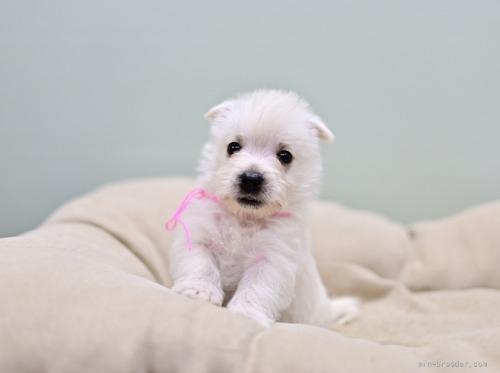 ウエストハイランドホワイトテリアの子犬(ID:1263011012)の3枚目の写真/更新日:2018-07-30