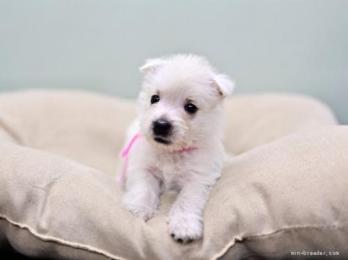 ウエストハイランドホワイトテリアの子犬(ID:1263011012)の4枚目の写真/更新日:2018-10-22