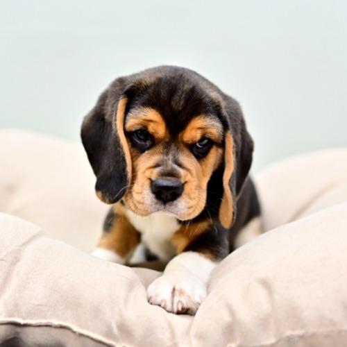 ビーグルの子犬(ID:1263011017)の1枚目の写真/更新日:2017-02-13