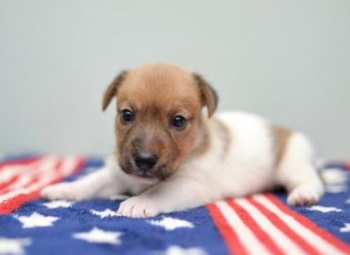 ジャックラッセルテリアの子犬(ID:1263011018)の1枚目の写真/更新日:2019-07-06