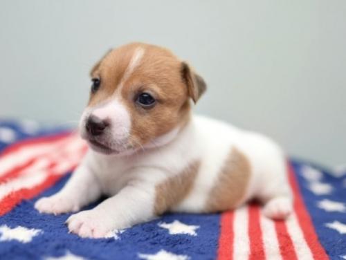 ジャックラッセルテリアの子犬(ID:1263011019)の1枚目の写真/更新日:2019-07-06