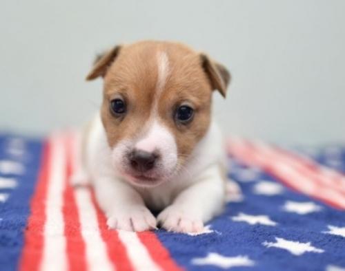 ジャックラッセルテリアの子犬(ID:1263011019)の2枚目の写真/更新日:2019-07-06