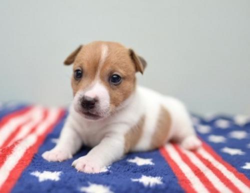 ジャックラッセルテリアの子犬(ID:1263011019)の3枚目の写真/更新日:2019-07-06